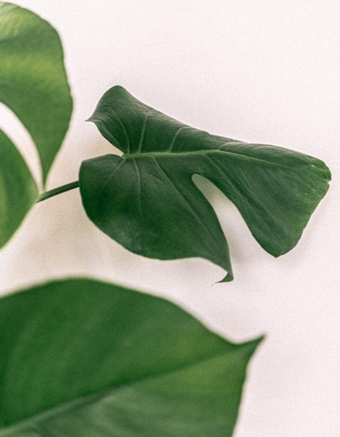 Montsera leaves